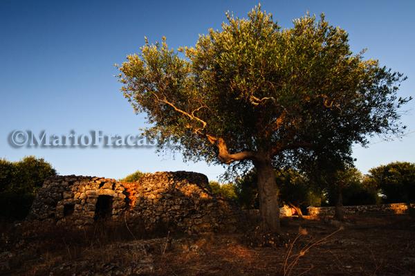Alliste (LE) – Pagghiara, ulivi e muro a secco