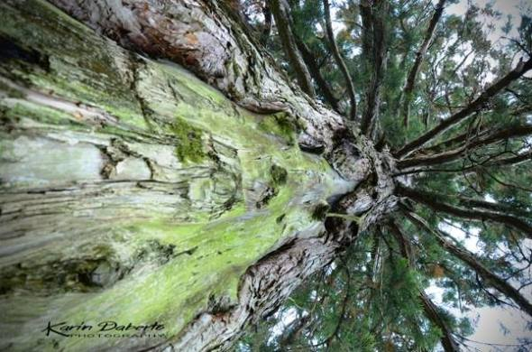 Sequoia Vajont - karin daberto. jpg