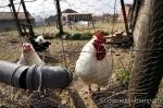 """alt=""""Animali da cortile, avicoltura, conservazione delle biodiversità"""""""