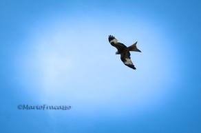 Il nibbio reale nidifica nel Parco dell'Appennino Lucano con la popolazione più cospicua in Italia. Altri rapaci che si possono avvistare sono il nibbio bruno, il falco pellegrino, l'aquila, il grifone e il capovaccaio.