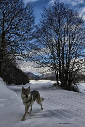 Pescasseroli (Aq), Cane Lupo Cecoslovacco (Razza di cane spesso usata dalla guardia forestale e da altri addetti alla manutenzione e alla sicurezza dei parchi italiani) - David Marrone