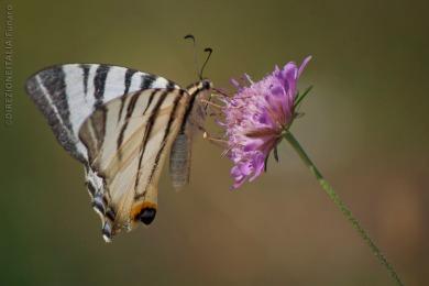 Orvinio, farfalla