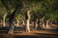 Ulivo, ulivo, ulivo, ulivo, muretto a secco, ulivo, ulivo, ulivo, ulivo, ulivo: la ripetizione di questo schema compone quasi tutto il paesaggio agricolo della Grecìa.