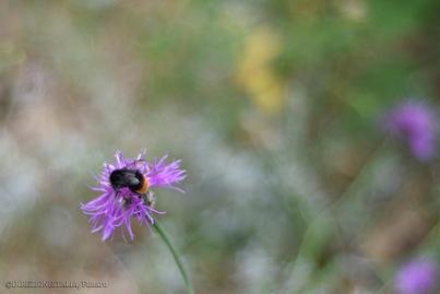 Un'ape sui fiori selvatici in vetta al Monte Autore